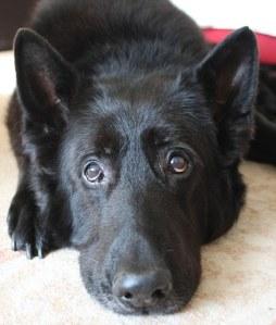 """El perro que interpreto la version animal de """"Sirus Black"""" en Harry Potter y el prisionero de Azkaban (Picture by Nigel Bowles 01273 486851;)"""